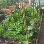 Vzájomná pomoc rastlín, prečo rastlinky sa oplatí sadiť spolu ?