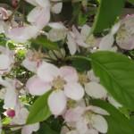 Keď jablčný sad kvitne…