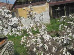 jablon v zahrade