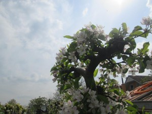 jablonka obloha kvety