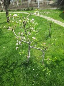jablonka v apríli