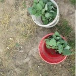 Ako sme sadili plantičky…