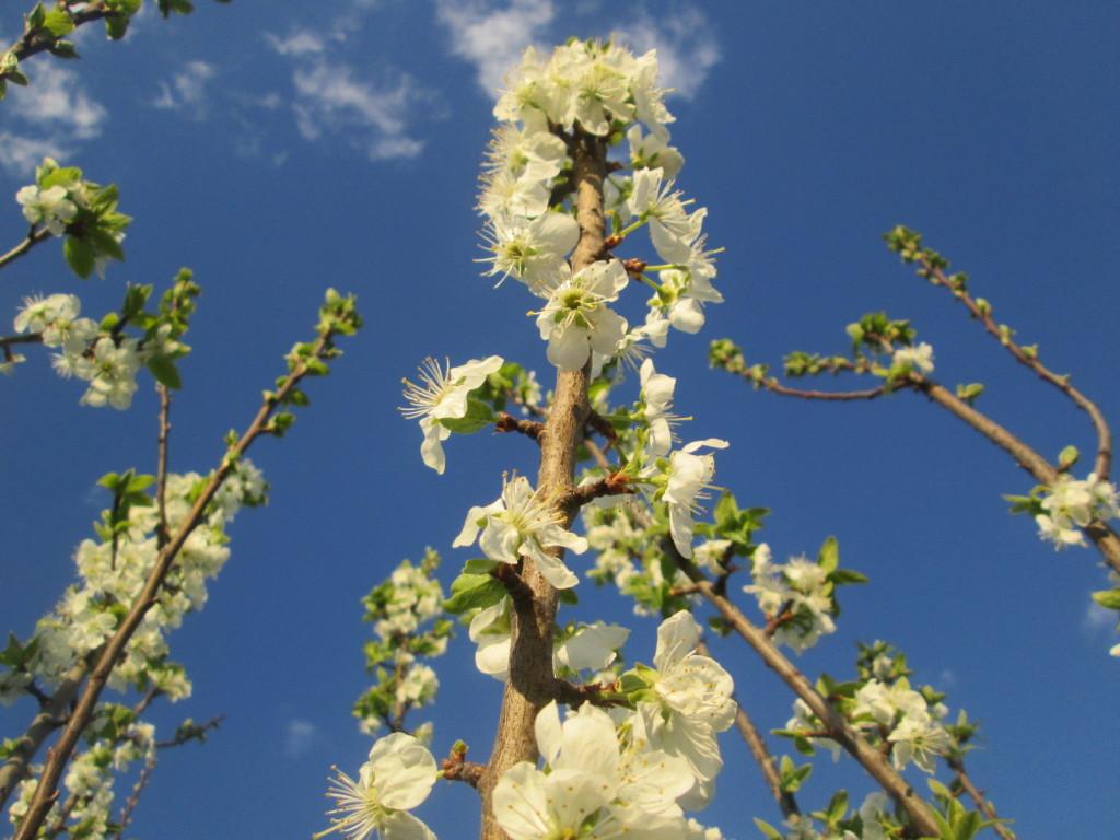 ovocne stromy kvety