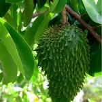 Graviola pre zdravie a pestovanie graviole