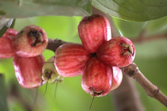 guava-cervena