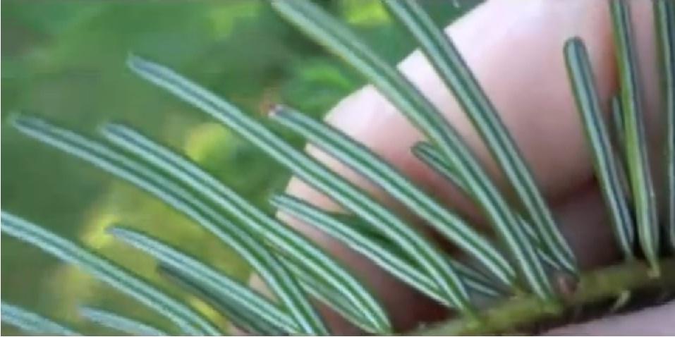 sibirska jedla učinky zdravie
