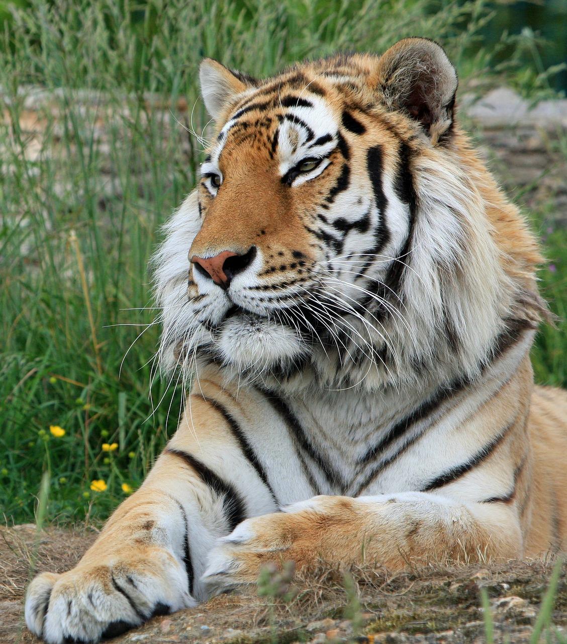 sibirsky tiger jedla olej