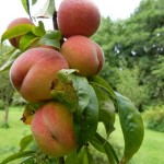 Pestovanie broskyne a prínos pre zdravie, recept na smoothie