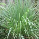 Citrónová tráva – pestovanie, využitie