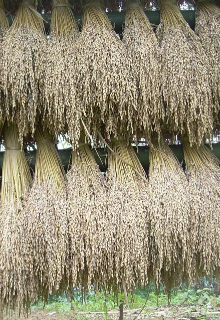 jasminova ryza pre zdravie