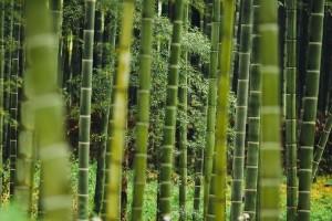 bambus, les, recepty, zdravie