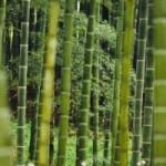 Zdravé bambusové výhonky
