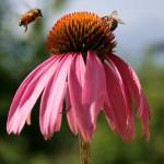 Echinacea – prírodný spôsob ako sa rýchlo zbaviť chrípky a nachladnutia